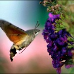 hummingbird_hawk_moth1