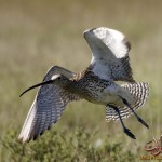 Curlew15