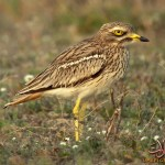 Curlew34