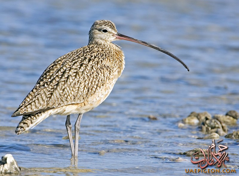 Curlew37