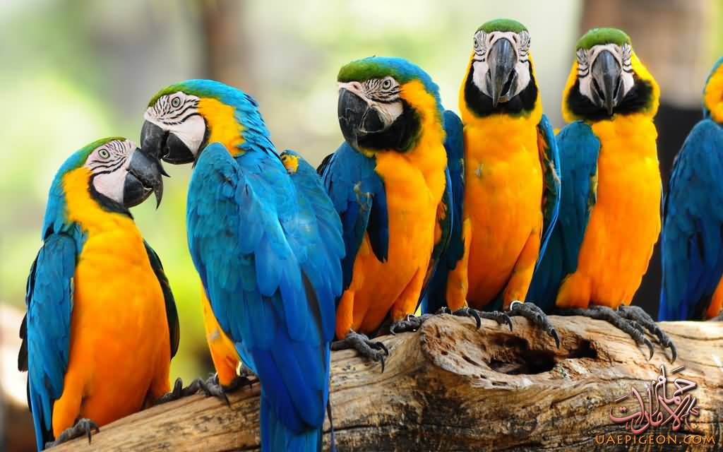 Macaw-uaepigeonb (51)