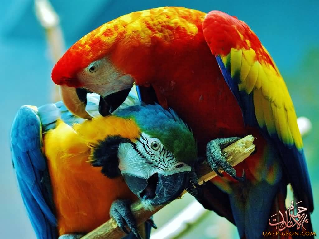 Macaw-uaepigeonb (52)