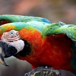 Macaw-uaepigeonb (68)