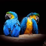 beautiful-birds-uaepigeons (252)